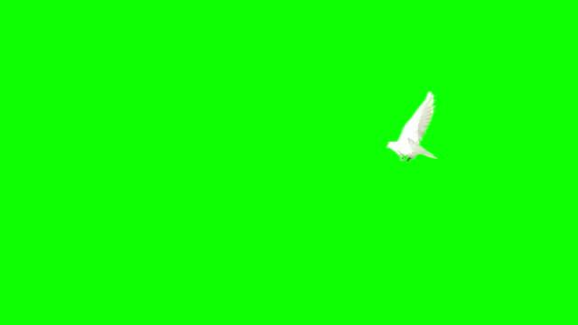 Dove Flying On Chroma Key (Super Slow Motion) video