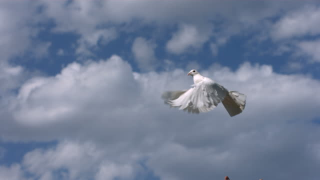 Dove is released into sky, slow motion video