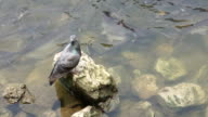 dove on river bank video