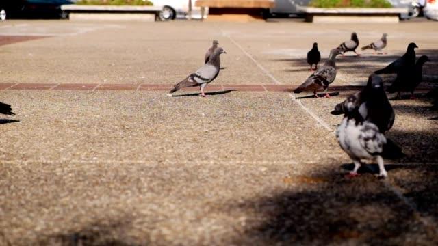 Dove : pigeon video