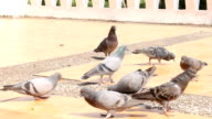 Doves are Eating Crumb video