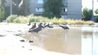 doves drinking from a puddle bathing water nature video video
