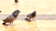 Doves Feeding by Crumb video
