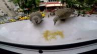 Doves Feeding video