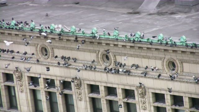 Doves flying / landing on city building roof. video