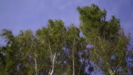 Down view on trees crowns bended with strong wind video