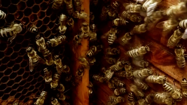 Dozens of Bees Crawl on Honeycombs And Wall of Hive Inside Close up video
