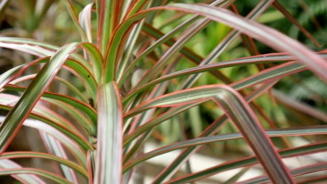 Dracaena marginata plant video