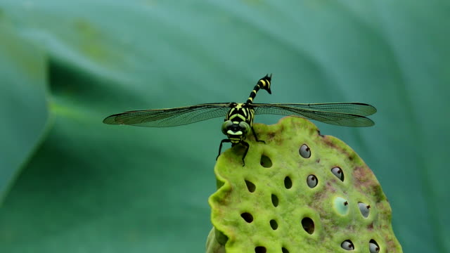 Dragonfly: Common Flangetail resting on Green Lotus seeds video