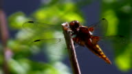 Dragonfly defecating video