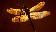 Dragonfly evening at sunset video