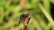 Dragonfly in action video