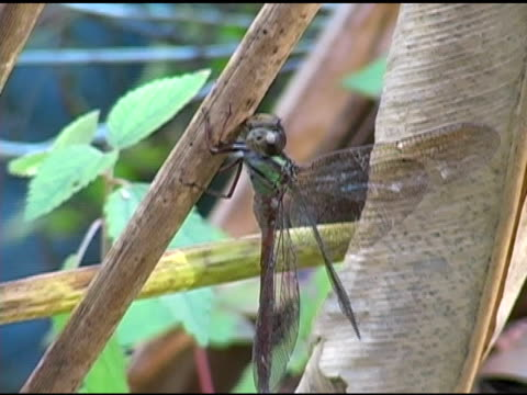 Dragonfly in Florida Everglades NTSC video