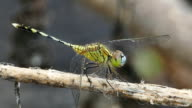 Dragonfly innature video