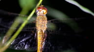 dragonfly night video