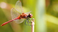 Dragonfly on a Branch video