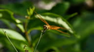 Dragonfly on leaves. video