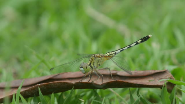 dragonfly on the dry leaf with wind video
