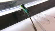 dragonfly on window video