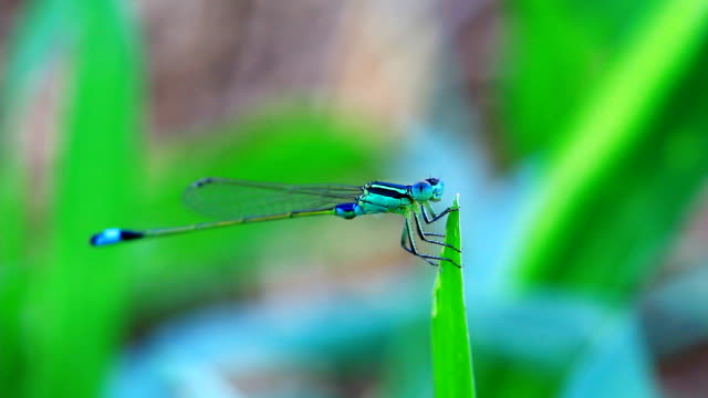 dragonfly outdoor. video