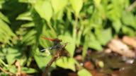 Dragonfly rests on the stick video