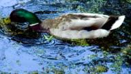 Drake Feeds Among Duckweed video