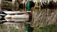 Drake on pond video
