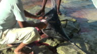 Dramatic live reportage of a poaching episode (marlin dissection) video
