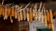 dried corn video