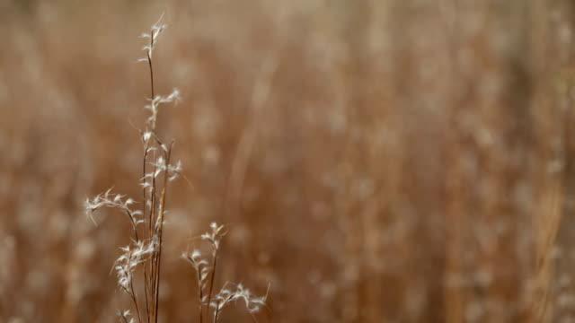 Dried Grass Close Up - HD, PAL, NTSC video