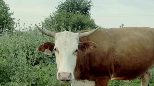 Driving along country road near grazing cows close up video