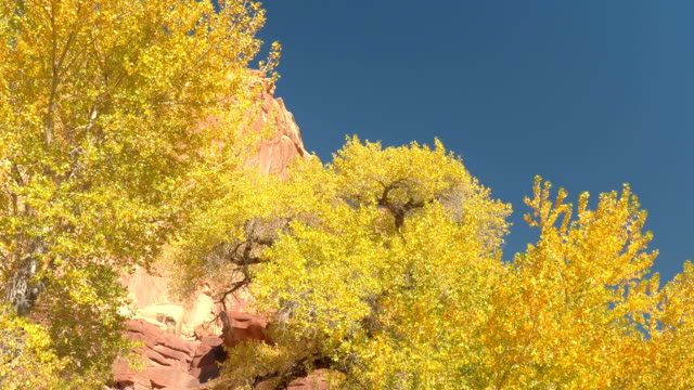 CLOSE UP Driving past lush turning leaves tree canopies in sunny red rock canyon video