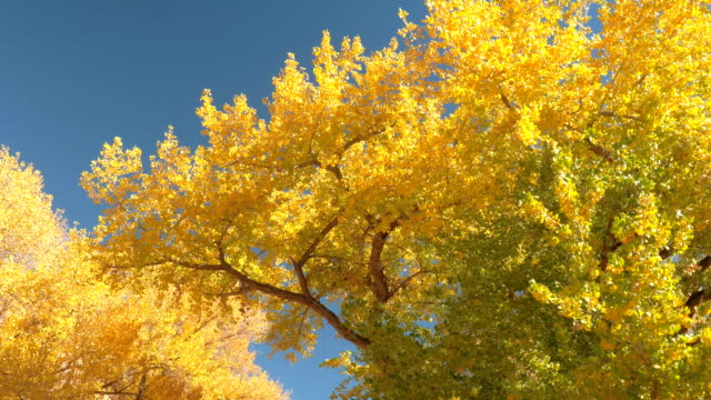 CLOSE UP: Driving under lush turning leaves tree canopies on gorgeous autumn day video