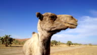 Dromedary camel, Merzouga, Morocco video
