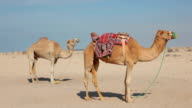 Dromedary camels in the desert video