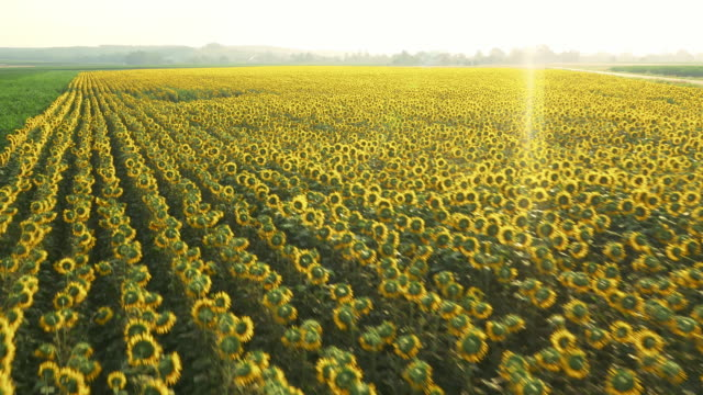 AERIAL Drone flying above giant sunflowers video