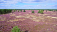 Drone point of view of heather in Lower Saxony / Germany video