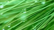 Drop on spruce. video