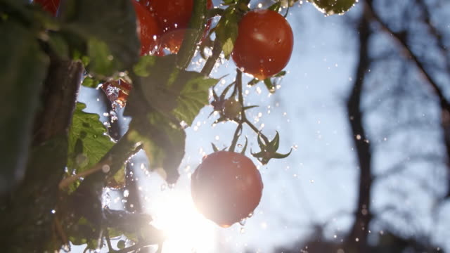 SLO MO Drops Falling Over Tomatoes video