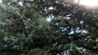 Drops of water fall from conifer trees after rainfall video