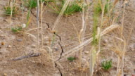 TU Drought Affected Barley Field Close-up (UHD) video