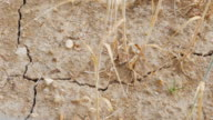 PAN Drought Affected Barley Field Close-up (UHD) video