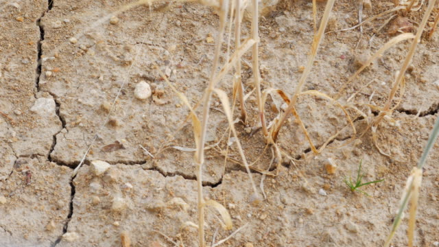 Drought Affected Barley Field Close-up video