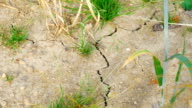 TU Drought Affected Barley Field Close-up (4K/UHD to HD) video