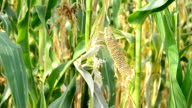 Drought Damaged Cornfield. video