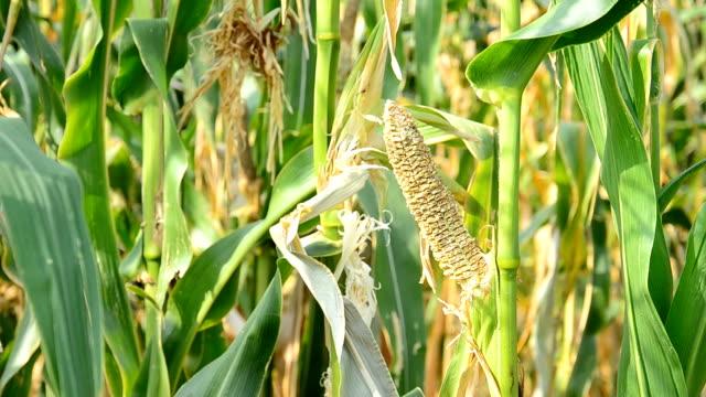 Drought Damaged Cornfield. video