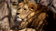 Drowsy Asian lion, lying under the tree and sniffing spring air. video