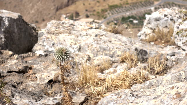 Dry Clump of Grass on Side of Cliff in Israel video
