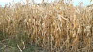 Dry corn field video