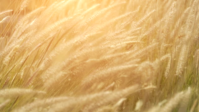 Dry feather grass in the sun in the summer evening swinging in the wind. Small depth of field video